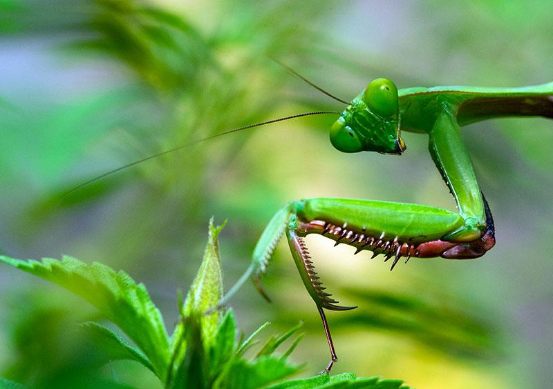 photo macro insecte menthe religieuse